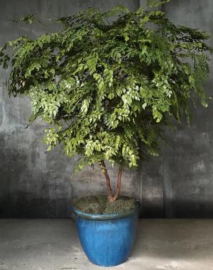 plantas-preservadas-arvore-avenca-preservada
