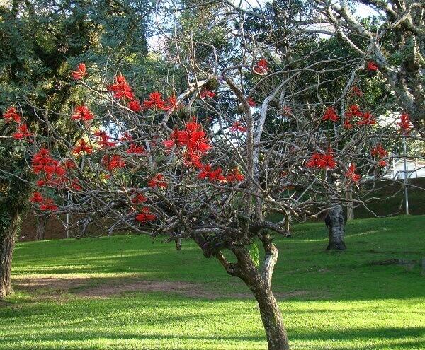 Arborização Urbana: Mulungu