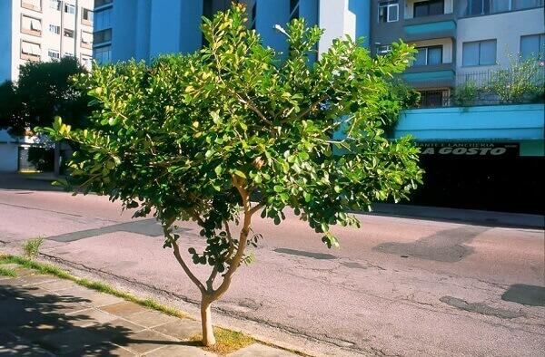 Arborização urbana: Araçá