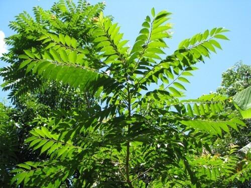 Arborização Urbana: Guaçatonga