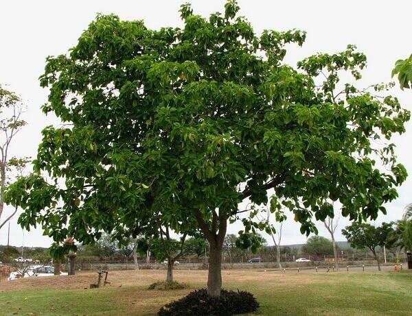 Arborização urbana: Guanhuma