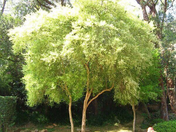 Arborização urbana: Pitangueira