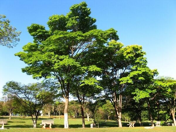 Arborização urbana: Sibipiruna