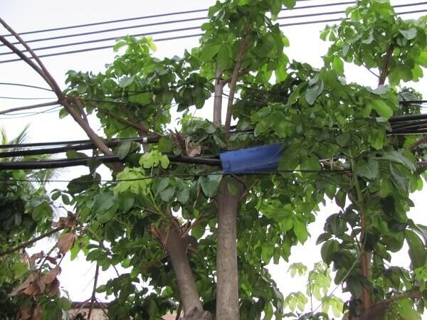 Arborização urbana: fiação elétrica
