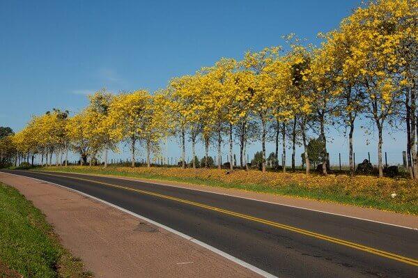 Arborização urbana: ipê amarelo