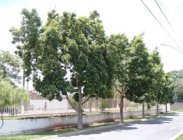 Arborização urbana: magnólia amarela