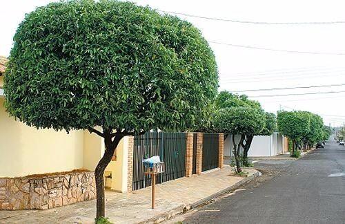 Arborização urbana: Oiti