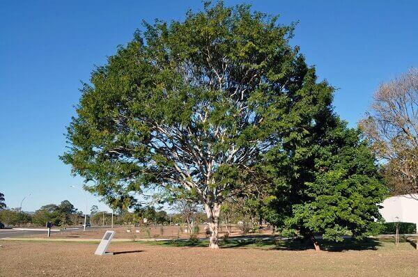 Arborização urbana: pau-ferro
