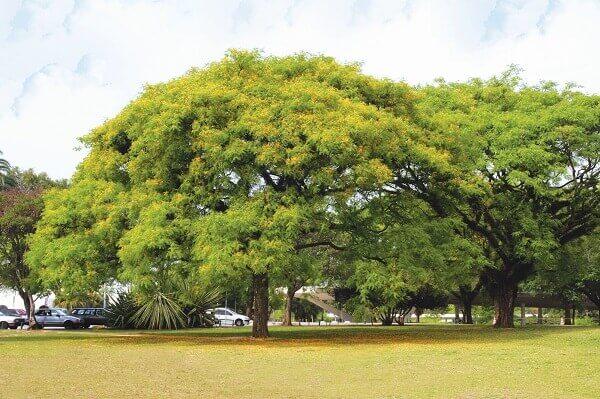 Arborização urbana: tipuana