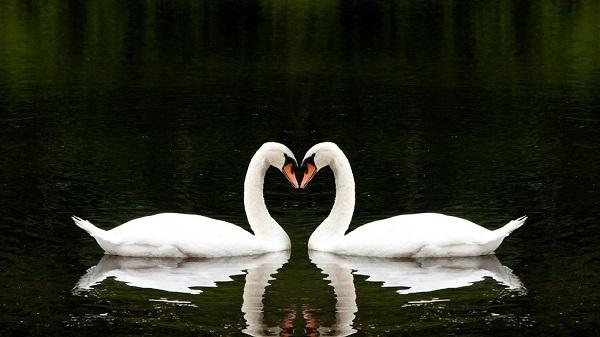 Simetria na natureza (Cisne)