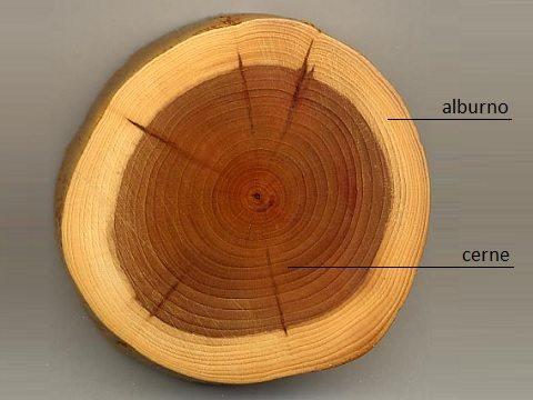Madeira de lei: alburno e cerne no tronco da árvore