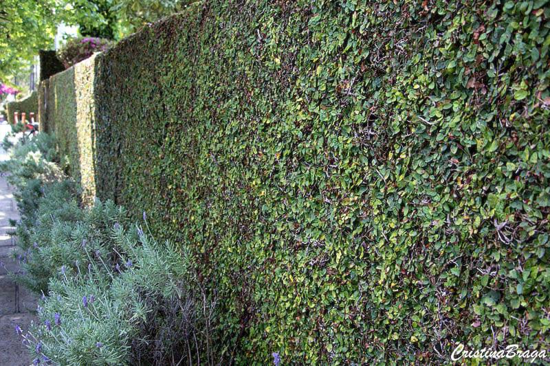 Plantas para muro verde: muro verde com ficus pumila (foto: Cristina Braga)