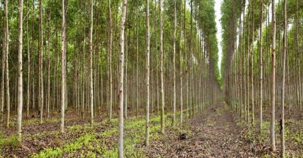 Madeira de reflorestamento ajuda a preservação ambiental (foto: Instituto Agro)