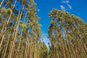 madeira de reflorestamento floresta foto Potencial Florestal