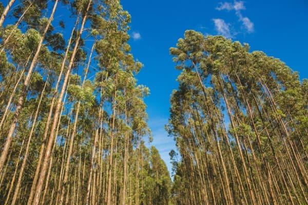 Madeira de reflorestamento: floresta (foto: Potencial Florestal)