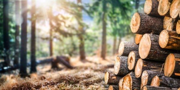 O que é madeira de reflorestamento: toras na floresta (foto: Potencial Florestal)